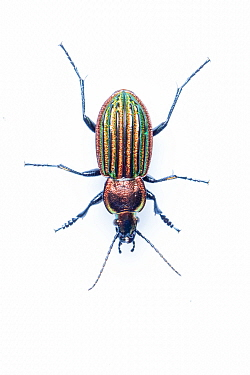 RF - Ground beetle (Carabus nitens). Dwingelderveld National Park, The Netherlands. April. Controlled conditions. (This image may be licensed either as rights managed or royalty free.)