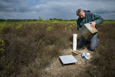 Researcher emptying pitfall trap used to collect Ground beetles (Carabidae). Long-term monitoring has revealed a 72 percent reduction in Ground beetle numbers in past 22 years. Dwingelderveld National...