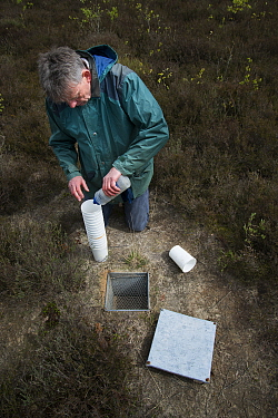 Researcher at pitfall trap used to collect Ground beetles (Carabidae). Long-term monitoring has revealed a 72 percent reduction in Ground beetle numbers in past 22 years. Dwingelderveld National Park,...