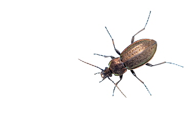 Ground beetle (Carabus arcensis) caught in weekly trapping, part of long-term research that has revealed a 72 percent reduction in Ground beetle numbers in past 22 years. Dwingelderveld National Park,...
