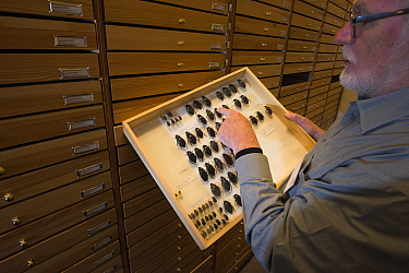 Entomologist looking at pinned Water scavenger beetle (Hydrophilus spp) specimens in collection. Nature Museum Brabant, Tilburg, The Netherlands. 2019.