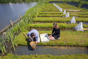 Ecotoxicologists sampling aquatic invertebrates from trial ditches exposed to thiacloprid, a neonicotinoid. Organisms found to be 2500 times more sensitive to the insecticide in the natural environmen...