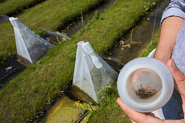 Sample of Insects from emergence trap over trial ditch exposed to thiacloprid, a neonicotinoid. Organisms found to be 2500 times more sensitive to the insecticide in the natural environment than in a...
