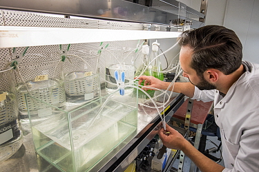 Ecotoxicologist conducting research in laboratory into impact of the neonicotinoid thiacloprid on aquatic organisms. Organisms found to be 2500 times more sensitive to the insecticide in the natural e...