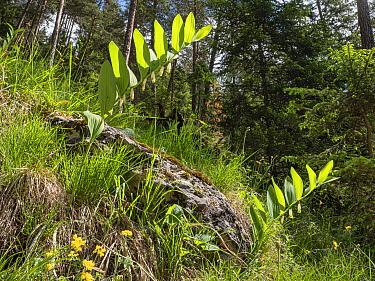 Scented solomon's seal (Polygonatum odoratum) in grassland at woodland edge. Dolomites, Italy. June.