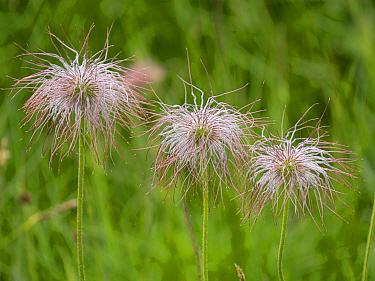 Sulphur pasqueflower (Pulsatilla alpina apiiflora), three seedheads. Dolomites, Italy. July.