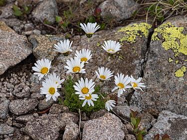 Alpine moon daisy (Leucanthemopsis alpina) flowering amongst rocks. Dolomites, Italy. June.