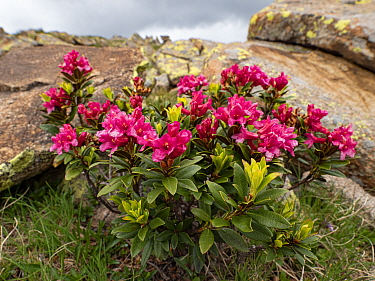 Alpenrose (Rhododendron ferrugineum) on rock in Dolomites. Ciampac, Trentino, Italy. July.