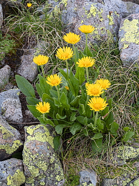 Tufted leopardsbane (Doronicum clusii) amongst rocks. Dolomites, Italy. July.