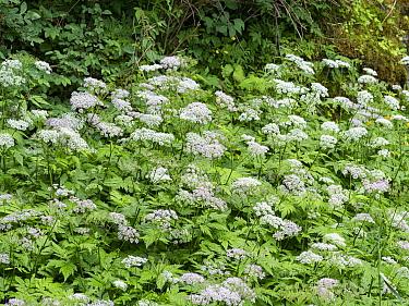Masterwort (Imperatoria ostruthium). Dolomites, Italy. July.