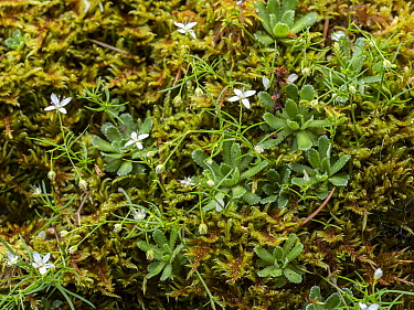 Mossy sandwort (Moehringia muscosa) growing amongst Moss. Dolomites, Italy. July.