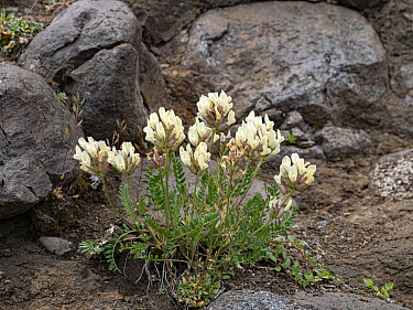 Meadow milk vetch (Oxytropis campestris) amongst rocks. Dolomites, Italy. July.