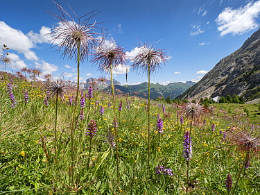 Sulphur pasqueflower (Pulsatilla alpina apiifolia) seedheads towering above Fragrant orchid (Gymnadenia conposea) in alpine meadow, view to mountains. Dolomites, South Tyrol, Italy. July 2019.