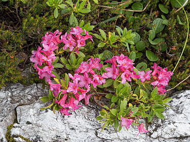 Hairy alpenrose (Rhododendron hirsutum), at 2200m. Valparola Pass, near Cortina, Dolomites, Belluno, Italy. July.