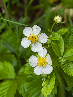 Wild strawberry (Fragaria vesca), dew droplets on petals. Fassa Valley, Dolomites, Trentino, Italy. June.