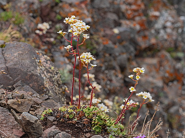 Lifelong saxifrage (Saxifraga paniculata) growing amongst rocks at 2700m. Fassa Valley, Trentino, Dolomites, Italy. June.