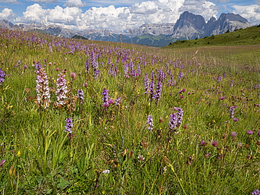 Fragrant orchid (Gymnadenia conopsea) flowering in profusion in alpine meadow, mountains in background. Seiser Alm / Alpe di Siusi, Dolomites, South Tyrol, Italy. July 2019.