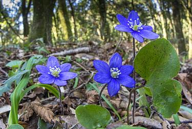 Hepatica (Hepatica nobilis) in woodland. Torrealfina, Lazio, Italy. March.