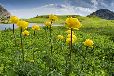 Globeflower (Trollius europaeus) in marshy grassland beside lake. Passo Gardena, South Tyrol, Italy. June 2017.