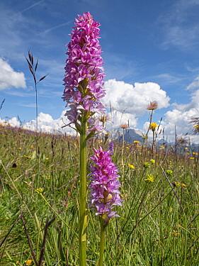 Vanilla orchid (Gymnadenia x heufleri) hybrid in alpine meadow, found where parents Short-spurred fragrant orchid (Gymnadenia odoratissima) and Black vanilla orchid (Gymnadenia rhellicani) grow togeth...
