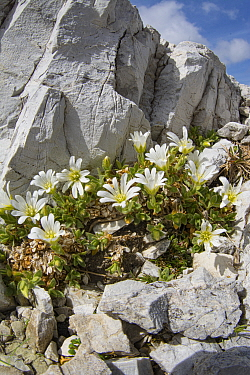 One-flowered mouse-ear (Cerastium uniflorum) amongst rocks at 2762m. Near Refugio Lagazuoi, above Falzarego Pass, Dolomites, Belluno, Italy. July.