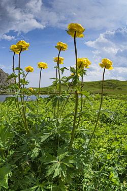Globeflower (Trollius europaeus) in marshy alpine meadow beside lake. Gardena Pass, South Tyrol, Italy. June 2017.