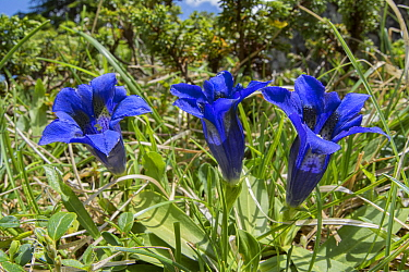 Trumpet gentian (Gentiana acaulis). Pordoi Pass, Trentino, Dolomites, Italy. June.