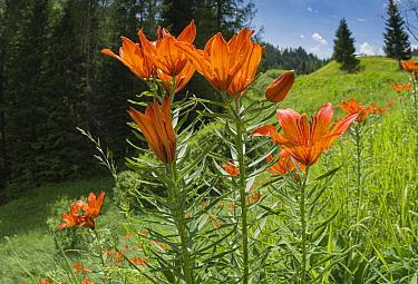 Orange lily (Lilium bulbiferum) in alpine meadow beside coniferous forest. Passo Gardena, Colfosco, South Tyrol, Italy. June.