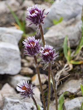 Alpine coltsfoot (Homogyne alpina). Dolomites, Italy. June.