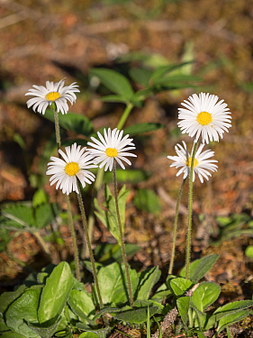 False aster (Aster bellidiastrum). Dolomites, Italy. June.