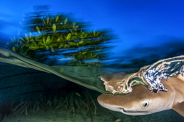 Lemon shark(Negaprion brevirostris) pup, these spend the first 5-8 years of their life in mangrove forests. Eleuthera, Bahamas