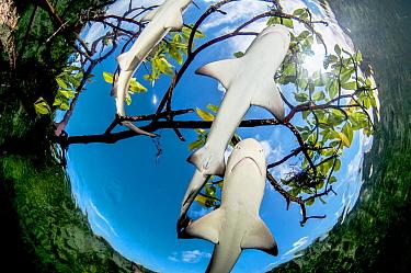 Lemon shark pups (Negaprion brevirostris) in mangrove forest, Eleuthera, Bahamas.