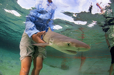 Researcher Ian Bouyoucos of the Cape Eleuthera Institute in The Bahamas releasing Lemon shark (Negaprion brevirostris) pup into his temporary enclosure. The shark will be observed to help us better un...
