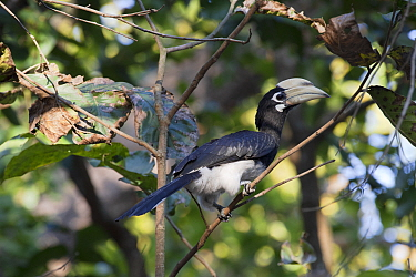 Oriental pied hornbill (Anthracoceros albirostris), Jim Corbett National Park, India.