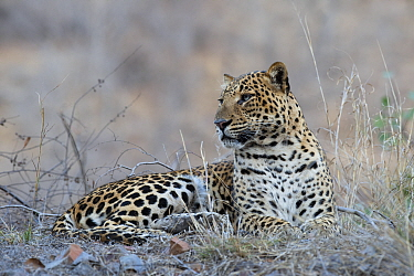 Leopard (Panthera pardus) male, Ranthambore National Park, Rajastan, India.