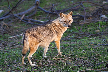 Jackal (Canis aureus) Jim Corbett National Park, India.
