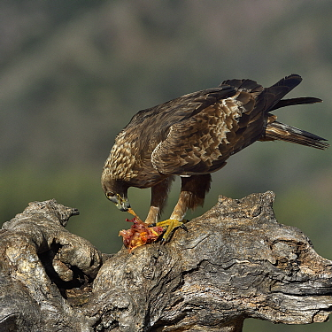 Golden eagle (Aquila chrysaetos) on a branch, feeding on rabbit, Pyrenees,Catalonia, Spain, March,