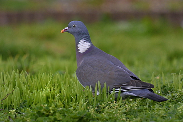 Wood pigeon (Columba palumbus) foraging in grass, Vendee, France, January