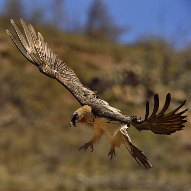 Bearded vulture (Gypaetus barbatus) in flight, Pyrenees, Catalonia, Spain, March