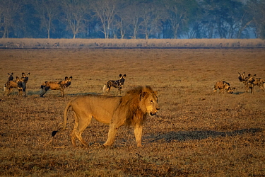 African wild dogs (Lycaon pictus), encounter a male Lion (Panthera leo) on the floodplain in Gorongosa National Park, Mozambique. Lions are one of the greatest competitors and predators of wild dogs