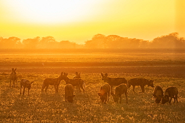 African wild dogs (Lycaon pictus) at sunset, These individuals are part of the first pack of wild dogs to be reintroduced to the park since the end of the Mozambican Civil War, which wiped out more th...