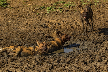 African wild dogs (Lycaon pictus) walowing in mud, Gorongosa National Park, Mozambique. These individuals are part of the first pack of wild dogs to be reintroduced to the park since the end of the Mo...