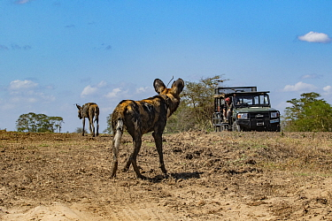 An endangered African wild dog, or painted wolf (Lycaon pictus) watching filmmaker Brett Kuxhausen in Gorongosa National Park, Mozambique. These individuals are part of the first pack of wild dogs to...