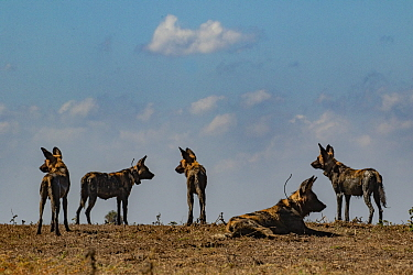 African wild dogs (Lycaon pictus) Gorongosa National Park, Mozambique. These individuals are part of the first pack of wild dogs to be reintroduced to the park since the end of the Mozambican Civil Wa...