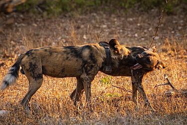 AAfrican wild dogs (Lycaon pictus) fitted with tracking collar, greeting, Gorongosa National Park, Mozambique, part of the first pack to be reintroduced to the park since the end of the Mozambican Civ...