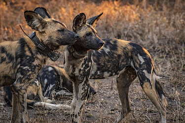 African wild dogs (Lycaon pictus) fitted with tracking collar, Gorongosa National Park, Mozambique. part of the first pack to be reintroduced to the park since the end of the Mozambican Civil War, whi...