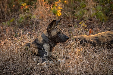 African wild dog (Lycaon pictus) fitted with tracking collar, Gorongosa National Park, Mozambique, one of the first pack to be reintroduced to the park since the end of the Mozambican Civil War, which...