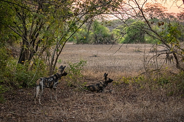 African wild dogs (Lycaon pictus) fitted with tracking collar, Gorongosa National Park, Mozambique, partof the first pack to be reintroduced to the park since the end of the Mozambican Civil War, whic...