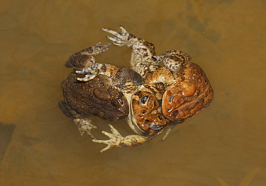 American toad (Anaxyrus americanus), 'toad knot', males attempting to mate with female, Maryland, USA. April.