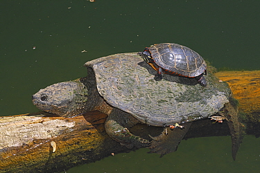 Snapping turtle (Chelydra serpentina) and painted turtle (Chrysemys picta) basking, Maryland, USA. May.